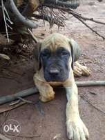 Pure boerboel, 8 weeks old 3female, big head and ready for new home.