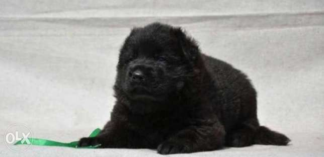Royal Black puppies, top quality, imported with Pedigree and passport مدينة الرحاب -  2