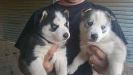 Siberian husky pups for sale (Pedigree)