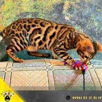 Lux, Elite Bengal cat, WCF documents, cattery