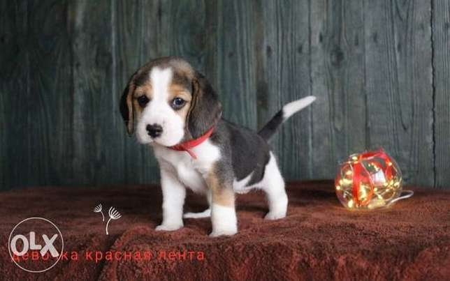 Gorgeous Beagle puppies imported from Ukraine