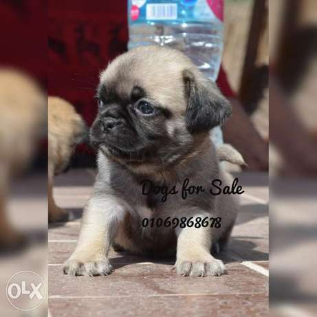 Pug puppies imported parents vaccinated high quality