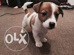 Jack Russell pure breed puppy