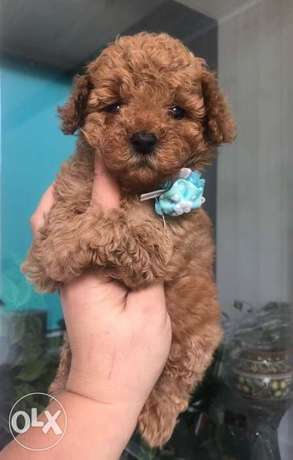Toy poodle puppies.. TOP QUALITY