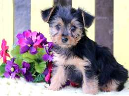 Yorkshire Terrier puppies for sale. Ready now.