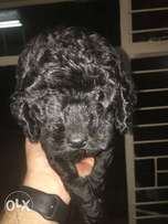 Black Toy French Poodle Puppies