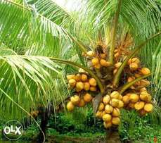 Hybrid & Dwarf coconut seedlings for sale