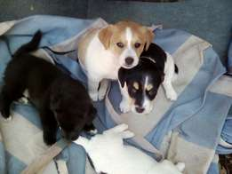 XBreed jack russel pups