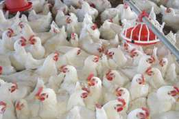 live and slaughtered broiler chickens for sale R 50