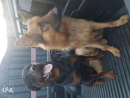 Pedigree german shepherd and Rottweiler for sale.