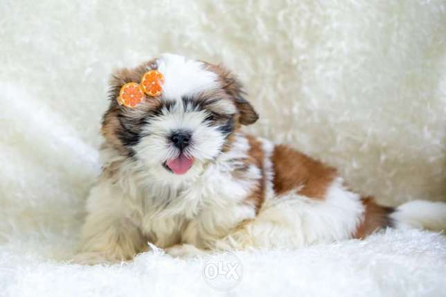"""Shih Tzu puppy with imported parents """"premium quality"""""""