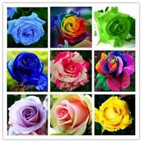 Rose flower seeds indoor and out door natural flower seeds 50 pieces