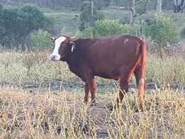 Young heifers, pregnant cows and slaughter cattle.