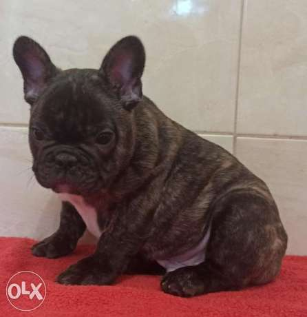Imported brindle French Bulldog with Microchip
