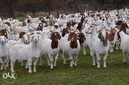Goat for sale at cheapest price, from N15,000 upward.
