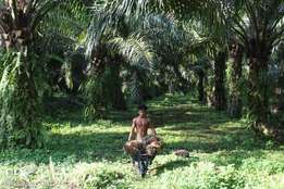6.2 Hectares Oil Palm Plantation For Sale