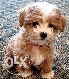 Adorable toy maltipoo puppies available for sale