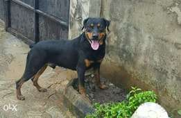15 Months Old Male Rottweiler For sale.