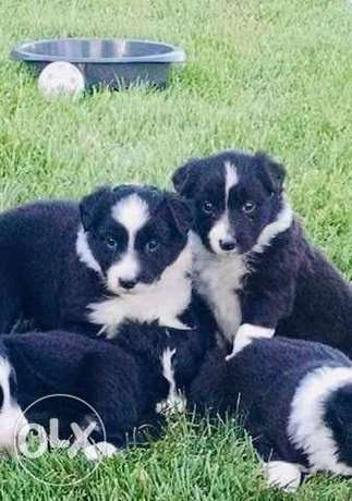 Attractive border collie pups
