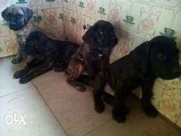 male boerboel studs for sale