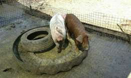 Breeding pigs for sale