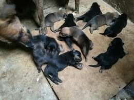 Puppies, crossbreed of ROTTWEILER & BOXER