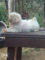 2month old female Lhasa forsale