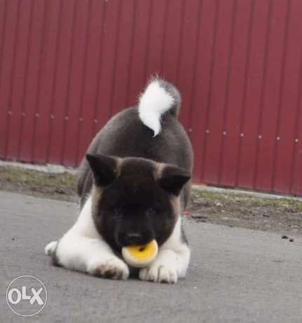Top quality American akita puppies, imported.. Males and females