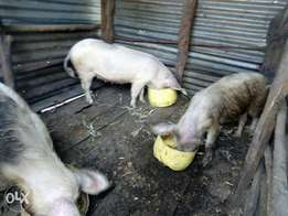 Sale of pigs