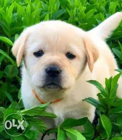 Imported Labrador retriever From Ukraine with all documents