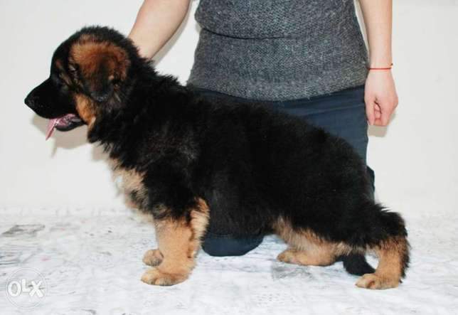 Imported German Shepherd Male 2 months Fci