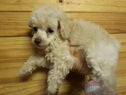 French Toy Poodle