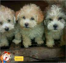 lhasa apso dog for sale