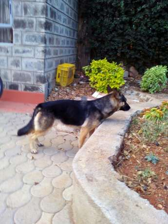 German shepherd dog Kahawa sukari - image 2
