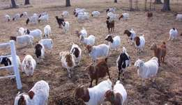 Boer Goats males and females for sale