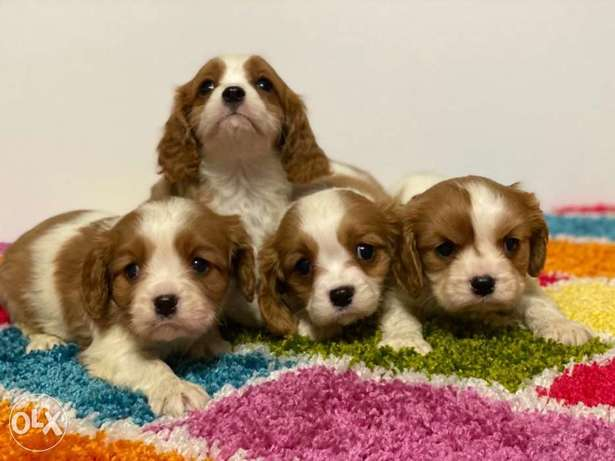 Imported Cavalier king charles puppies, limited number