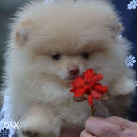 Purple teddy bear. Pomeranian. There is delivery.