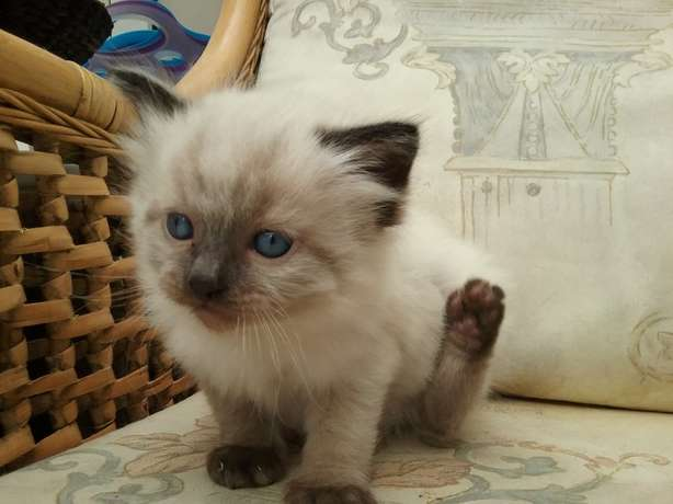Ragdoll kittens for sale Carletonville - image 1