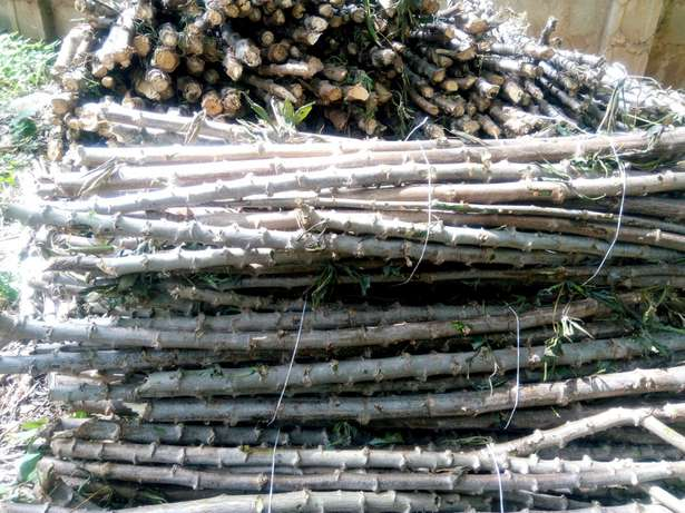 Buy Your Cassava Stem (Vit. A, TME419,TMS30572) from Walimglobal Farm Ido - image 6