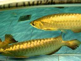 Golden Head Arowana Fishes For Sale