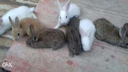 6weeks(male) Rabbits available give away price