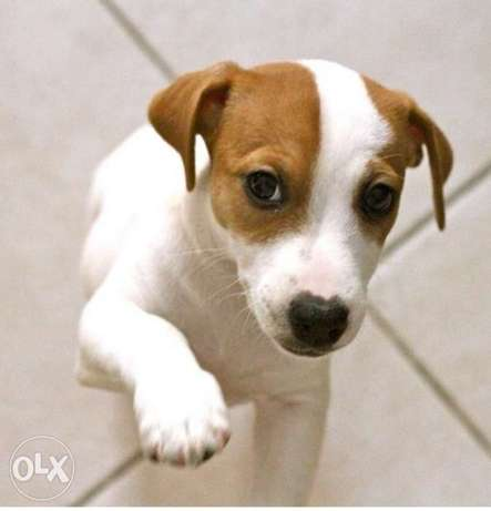 Jack Russell Puppies, imported with all documents.. Top quality