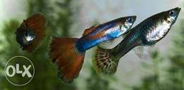 Guppies for sale with plant