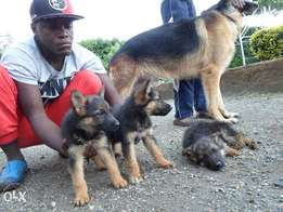 Pure Breed GSD Puppies
