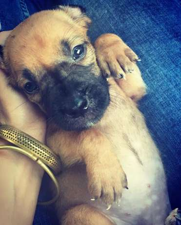 Mastiff cross puppies for sale Nyali - image 2