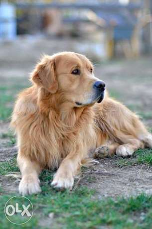 Golden Retriever(Golden Color) المرفأ -  6