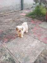 Adult female Lhasa forsale
