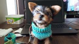 soft scarf/collar/leash/harness all in one for small dogs
