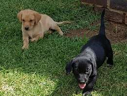 Pure bred Labrador puppy for sale
