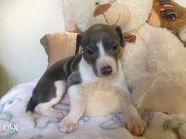 Purebred Italian Greyhound Puppies